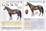 Akupunkturtafel für Pferde 1 und 2