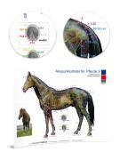 Akupunkturtafel für Pferde 9