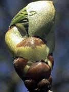Chestnet Bud (MHD)