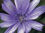 Chicory - Wegwarte