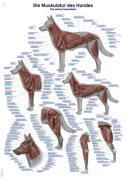 Muskulatur des Hundes
