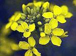 Mustard (MHD)