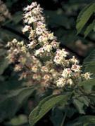 White Chestnut (MHD: 30.09.2020)